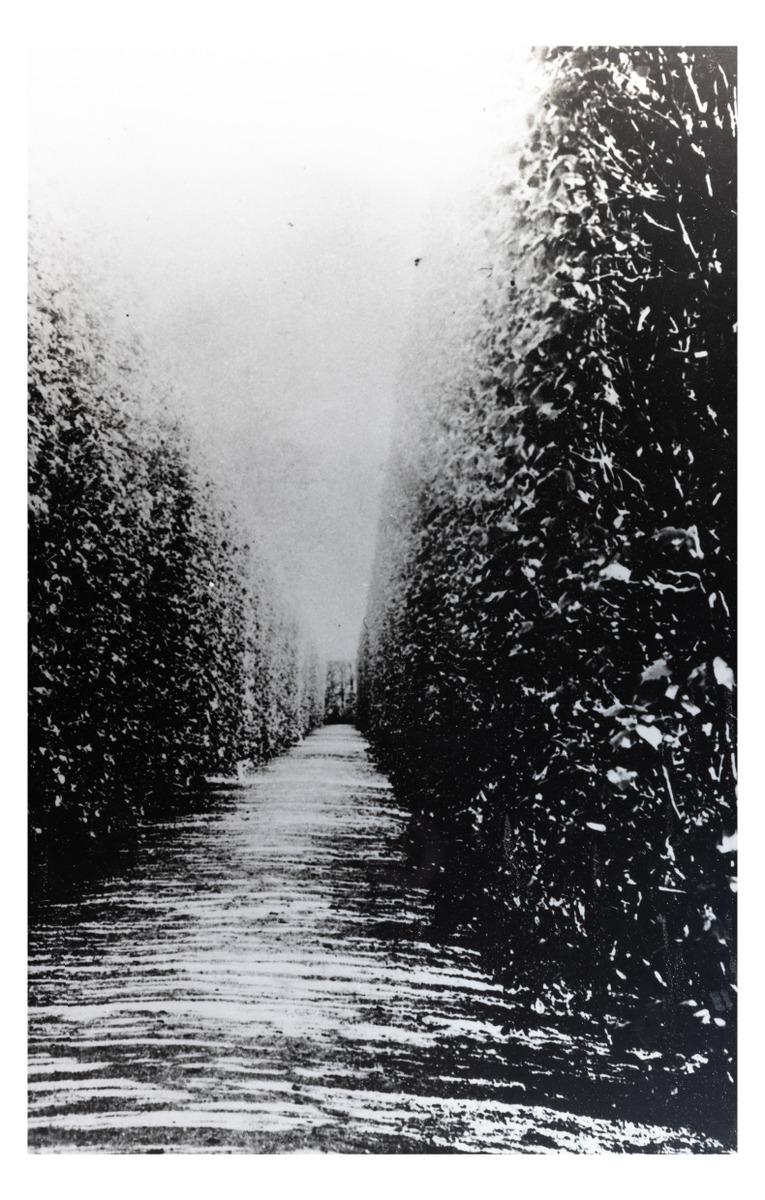 The pathway of lindens in Kretinga Park. (copy). P. Mongirdaitė's album Kretynga, p. 15, 1890